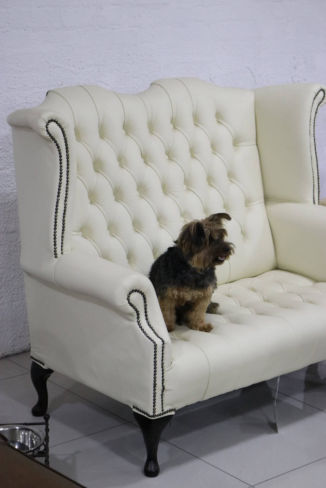 High Back Chesterfield Sofa Picture with Dog